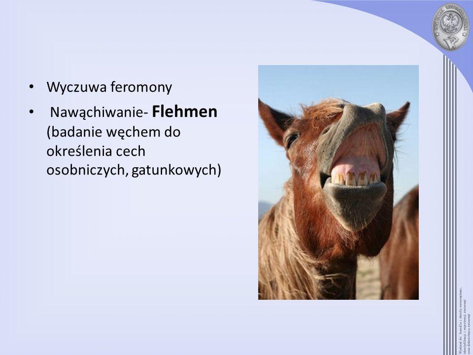 Wyczuwa feromony Nawąchiwanie- Flehmen (badanie węchem do określenia cech osobniczych, gatunkowych)