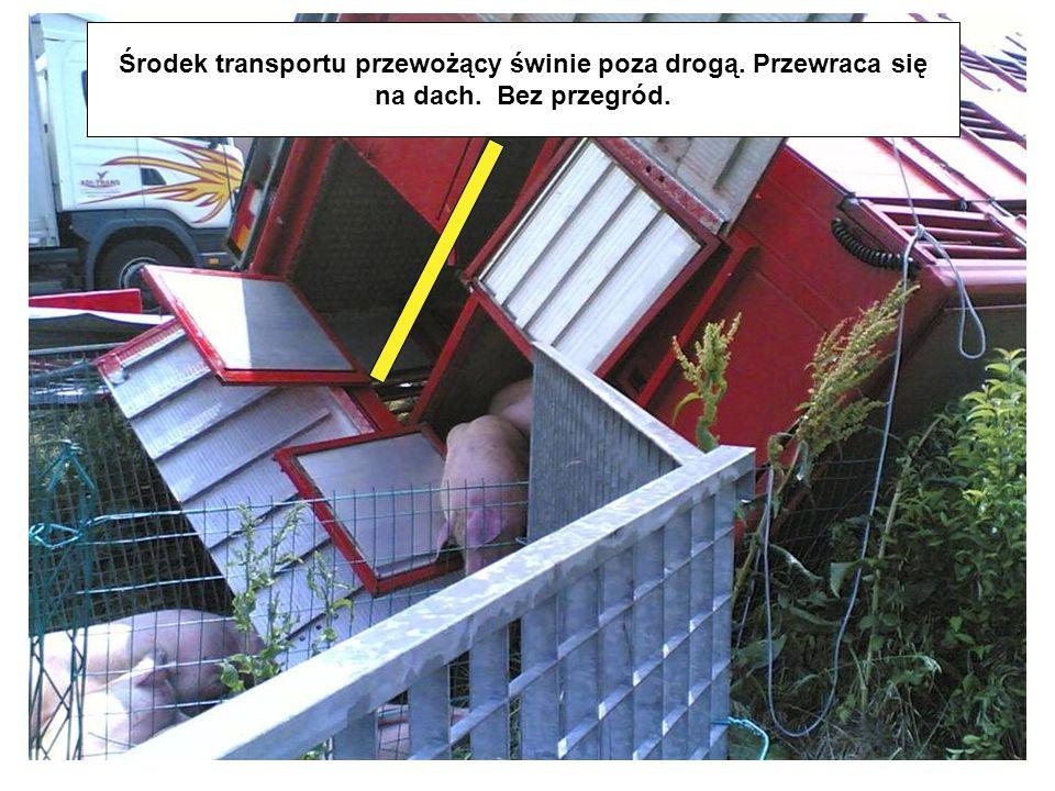 Środek transportu przewożący świnie poza drogą. Przewraca się
