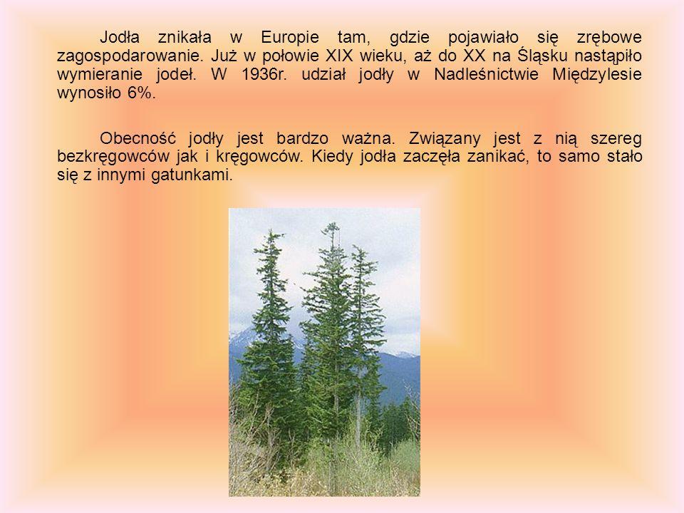 Jodła znikała w Europie tam, gdzie pojawiało się zrębowe zagospodarowanie. Już w połowie XIX wieku, aż do XX na Śląsku nastąpiło wymieranie jodeł. W 1936r. udział jodły w Nadleśnictwie Międzylesie wynosiło 6%.