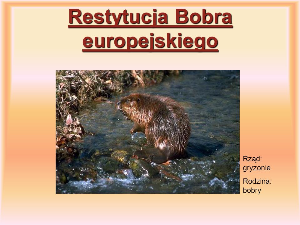 Restytucja Bobra europejskiego