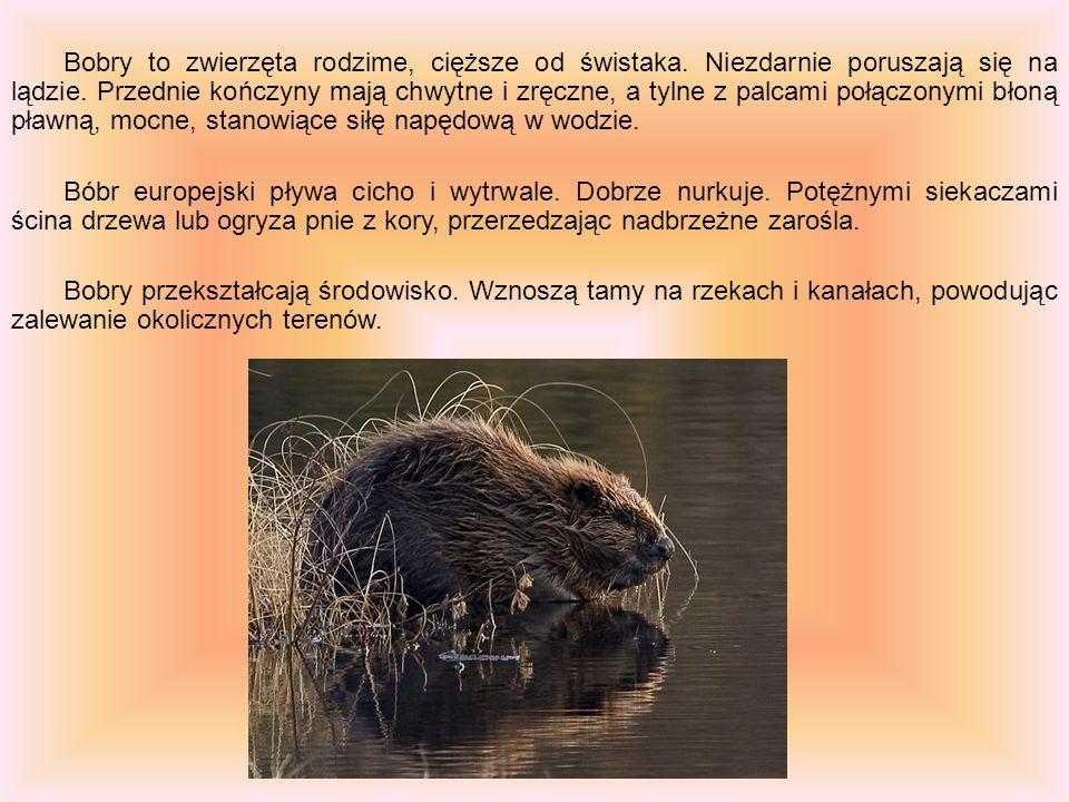 Bobry to zwierzęta rodzime, cięższe od świstaka