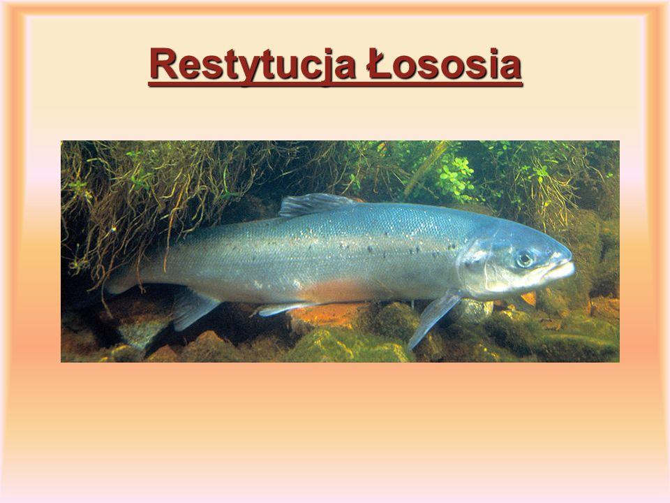 Restytucja Łososia