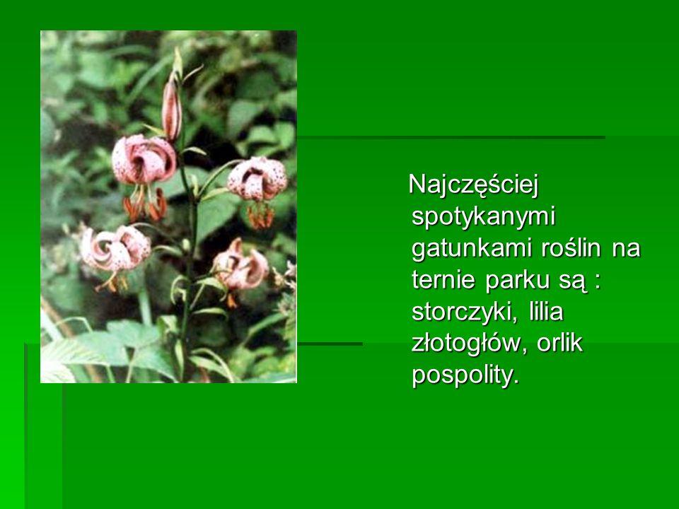 Najczęściej spotykanymi gatunkami roślin na ternie parku są : storczyki, lilia złotogłów, orlik pospolity.
