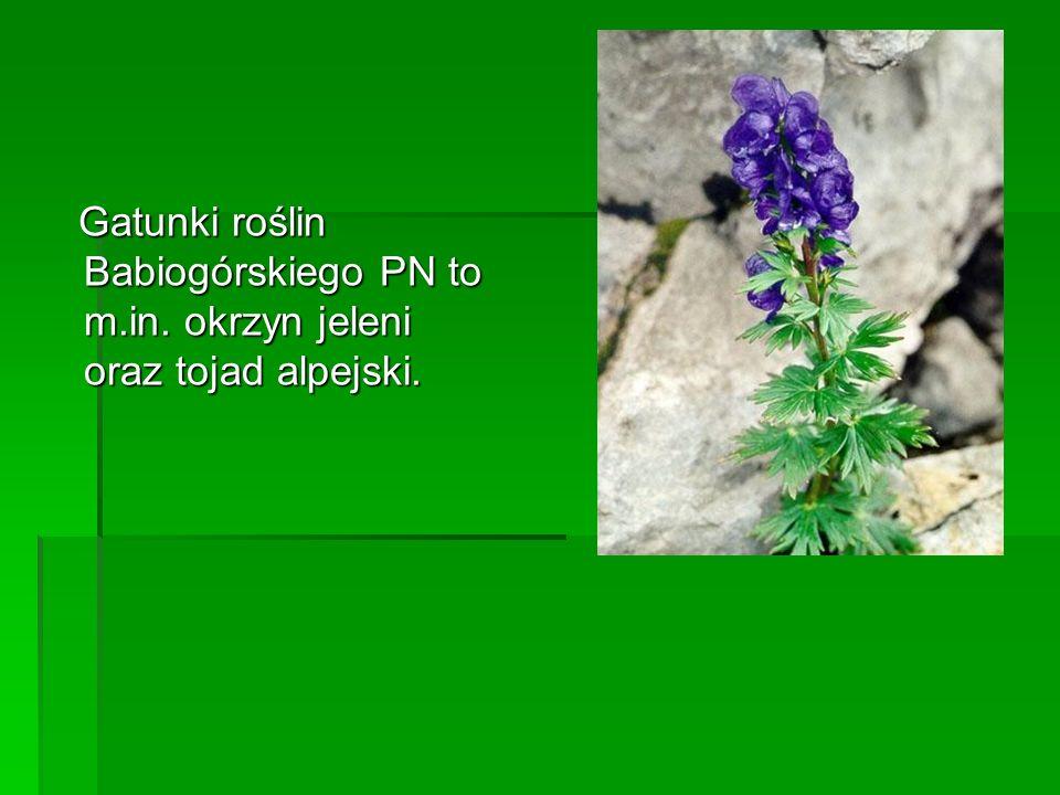 Gatunki roślin Babiogórskiego PN to m. in