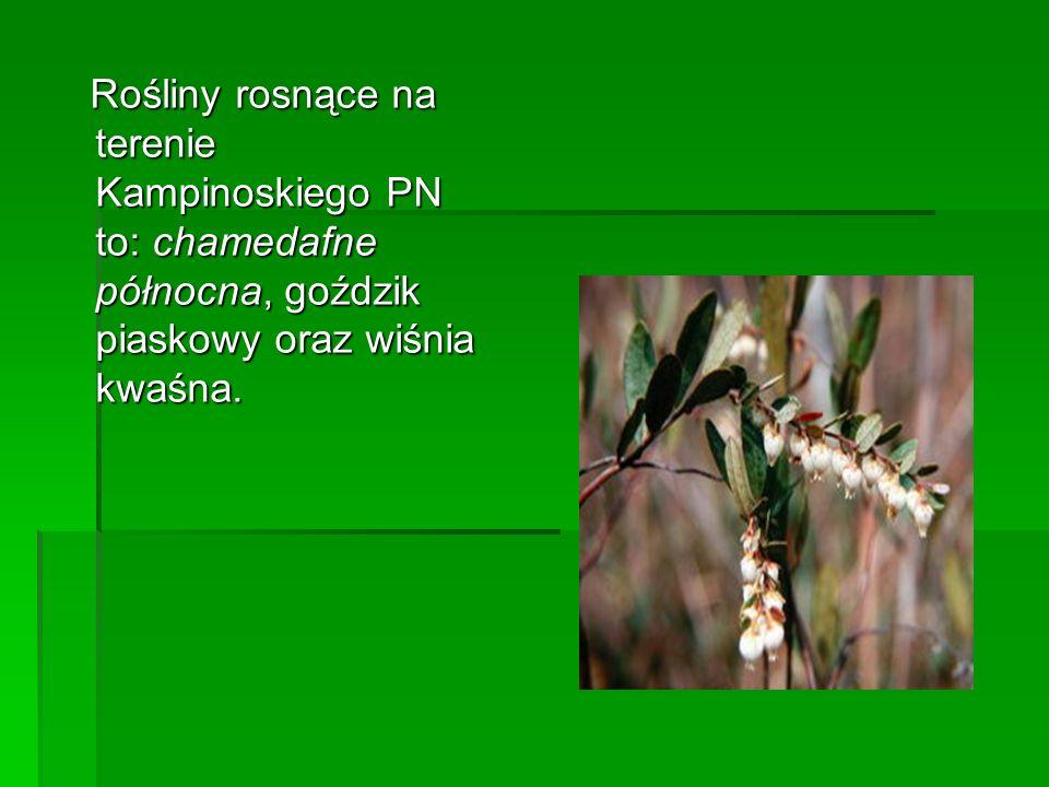Rośliny rosnące na terenie Kampinoskiego PN to: chamedafne północna, goździk piaskowy oraz wiśnia kwaśna.