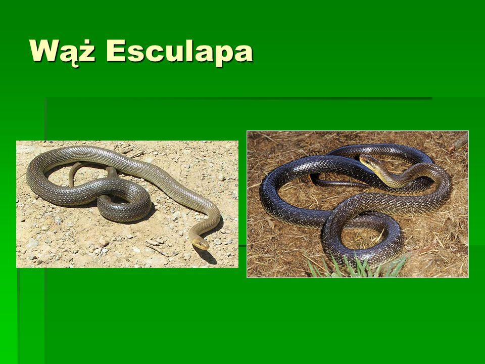 Wąż Esculapa