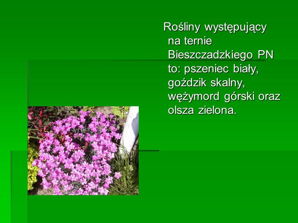 Rośliny występujący na ternie Bieszczadzkiego PN to: pszeniec biały, goździk skalny, wężymord górski oraz olsza zielona.