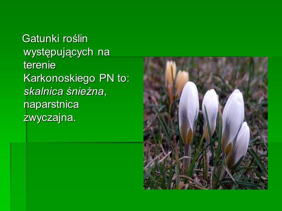 Gatunki roślin występujących na terenie Karkonoskiego PN to: skalnica śnieżna, naparstnica zwyczajna.