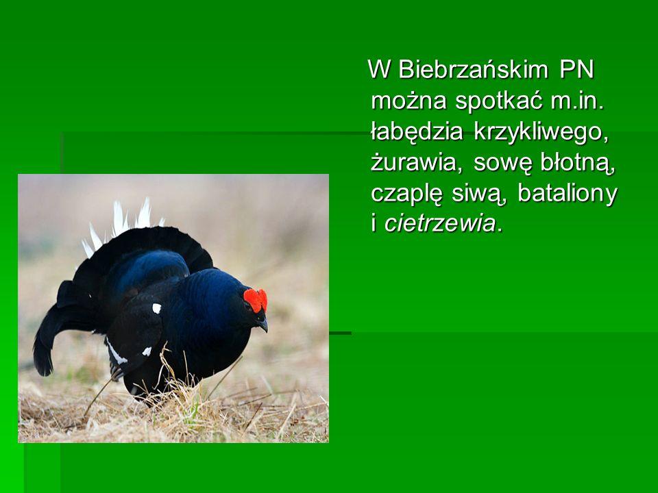 W Biebrzańskim PN można spotkać m. in