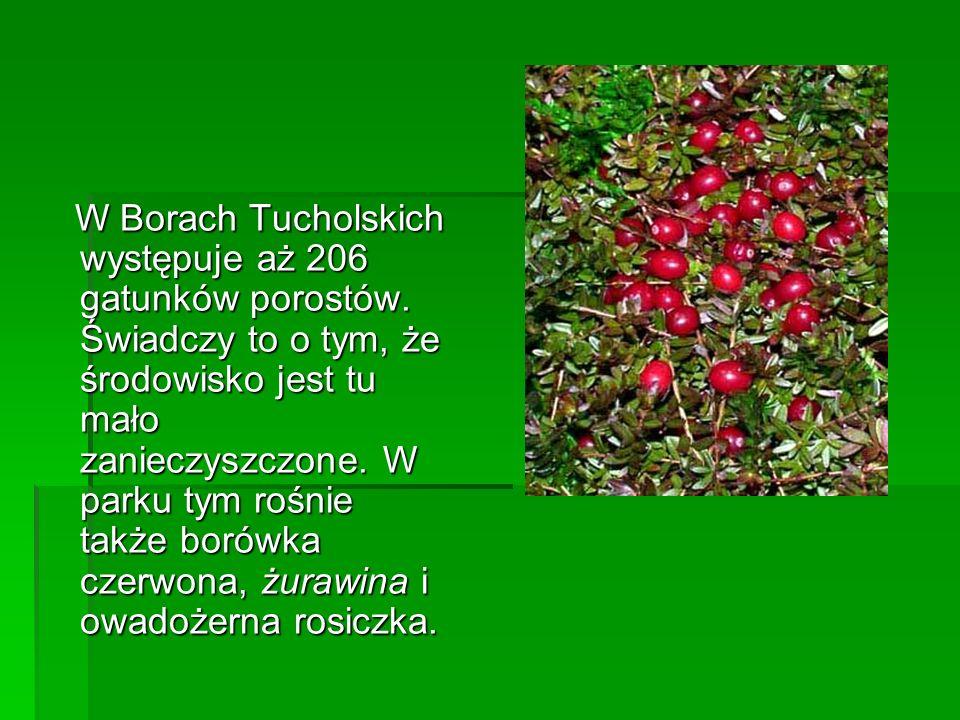 W Borach Tucholskich występuje aż 206 gatunków porostów