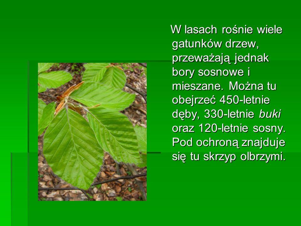 W lasach rośnie wiele gatunków drzew, przeważają jednak bory sosnowe i mieszane.