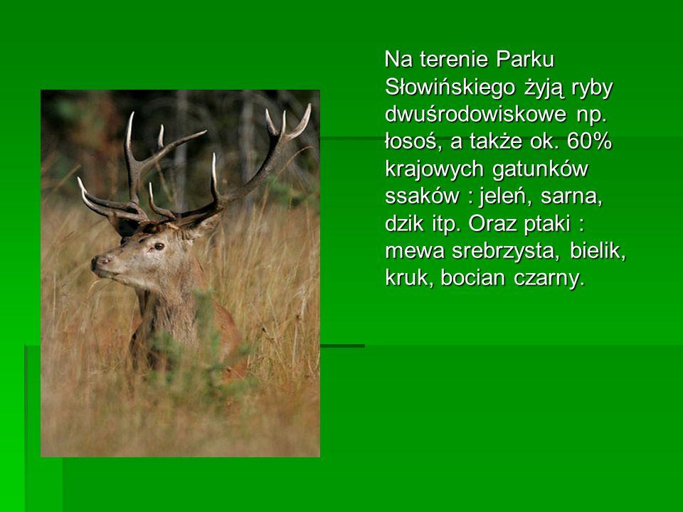 Na terenie Parku Słowińskiego żyją ryby dwuśrodowiskowe np