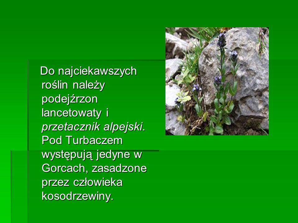 Do najciekawszych roślin należy podejźrzon lancetowaty i przetacznik alpejski.