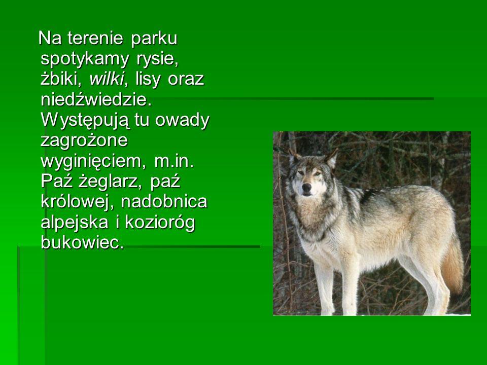 Na terenie parku spotykamy rysie, żbiki, wilki, lisy oraz niedźwiedzie