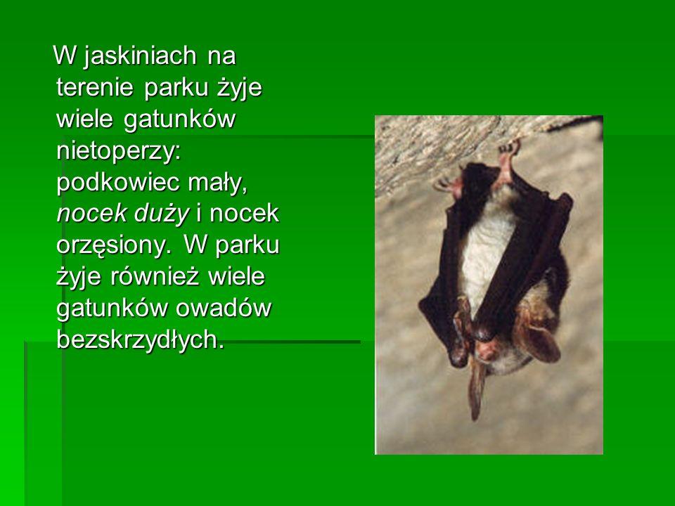 W jaskiniach na terenie parku żyje wiele gatunków nietoperzy: podkowiec mały, nocek duży i nocek orzęsiony.
