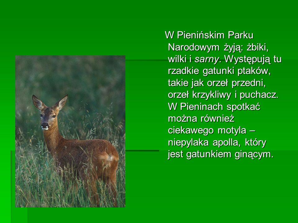 W Pienińskim Parku Narodowym żyją: żbiki, wilki i sarny