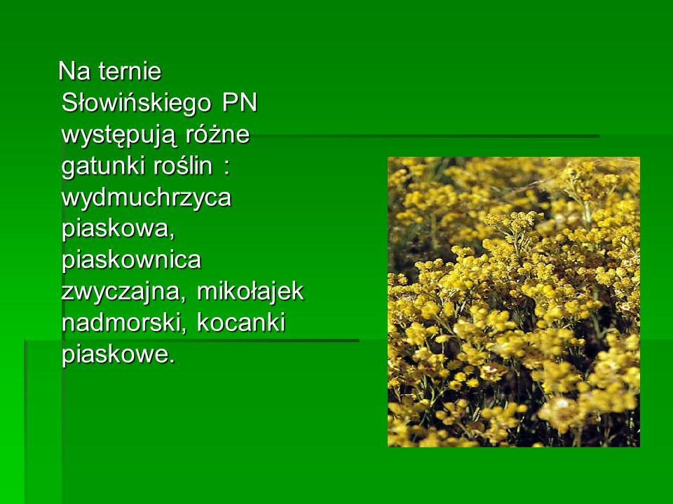 Na ternie Słowińskiego PN występują różne gatunki roślin : wydmuchrzyca piaskowa, piaskownica zwyczajna, mikołajek nadmorski, kocanki piaskowe.