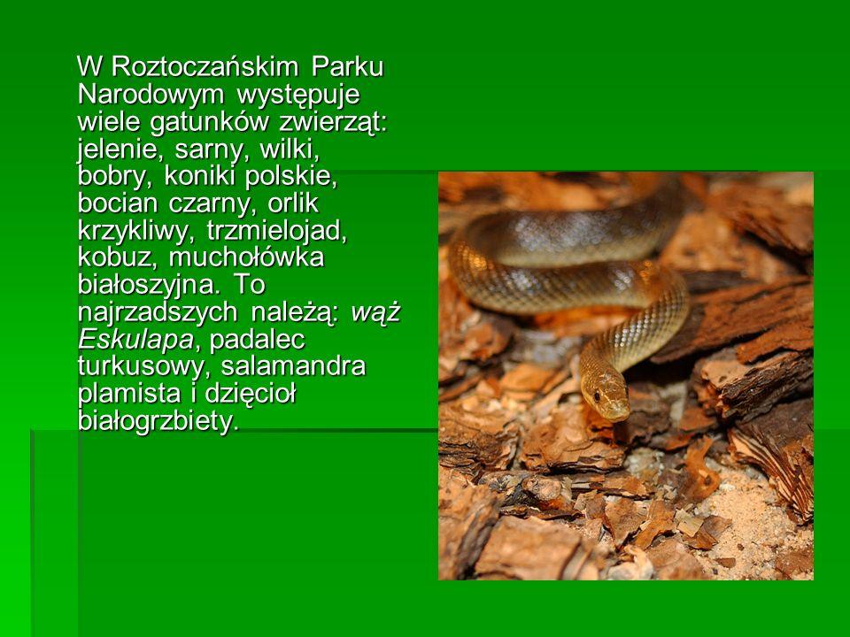 W Roztoczańskim Parku Narodowym występuje wiele gatunków zwierząt: jelenie, sarny, wilki, bobry, koniki polskie, bocian czarny, orlik krzykliwy, trzmielojad, kobuz, muchołówka białoszyjna.