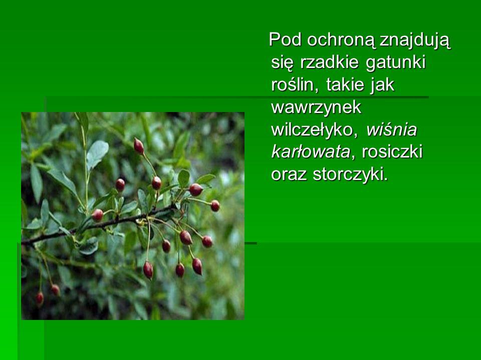 Pod ochroną znajdują się rzadkie gatunki roślin, takie jak wawrzynek wilczełyko, wiśnia karłowata, rosiczki oraz storczyki.