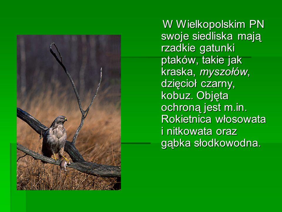 W Wielkopolskim PN swoje siedliska mają rzadkie gatunki ptaków, takie jak kraska, myszołów, dzięcioł czarny, kobuz.