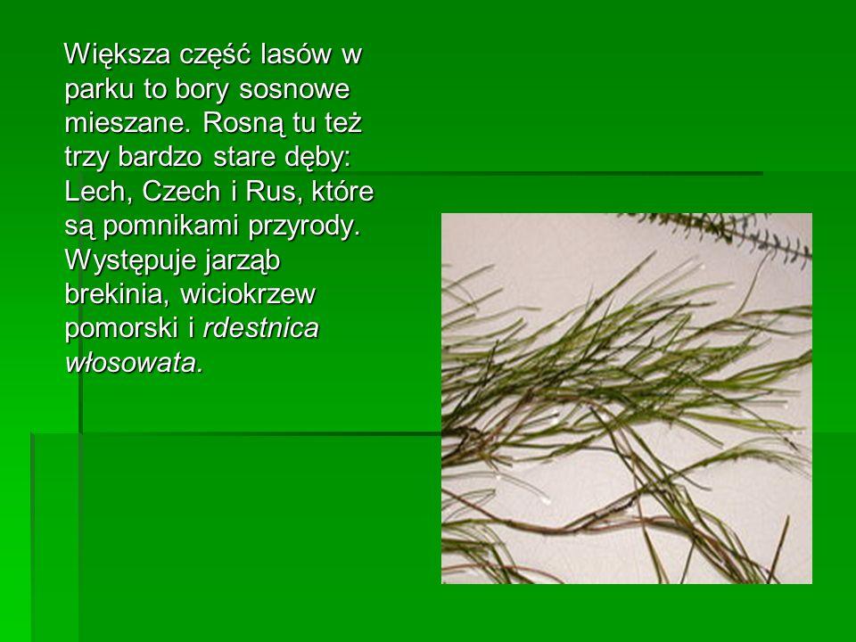 Większa część lasów w parku to bory sosnowe mieszane