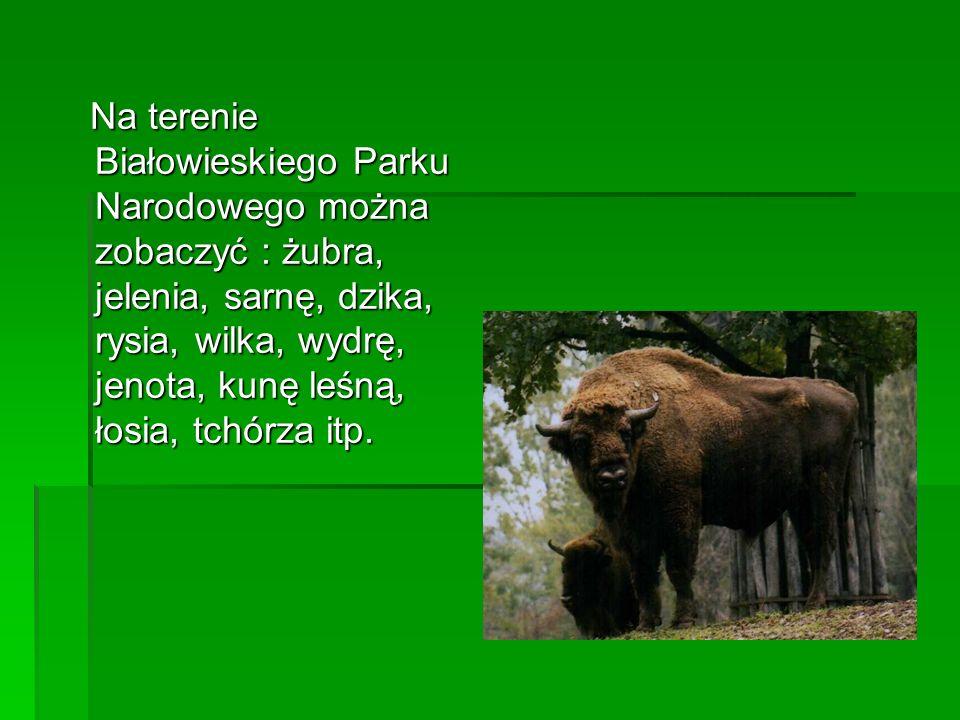 Na terenie Białowieskiego Parku Narodowego można zobaczyć : żubra, jelenia, sarnę, dzika, rysia, wilka, wydrę, jenota, kunę leśną, łosia, tchórza itp.