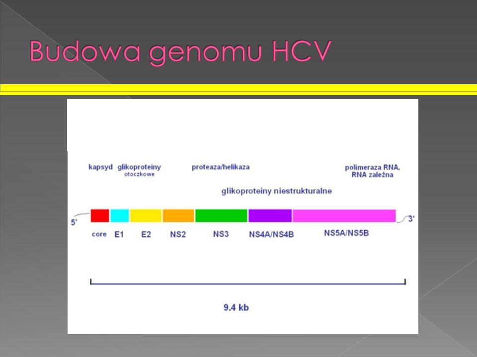 Budowa genomu HCV