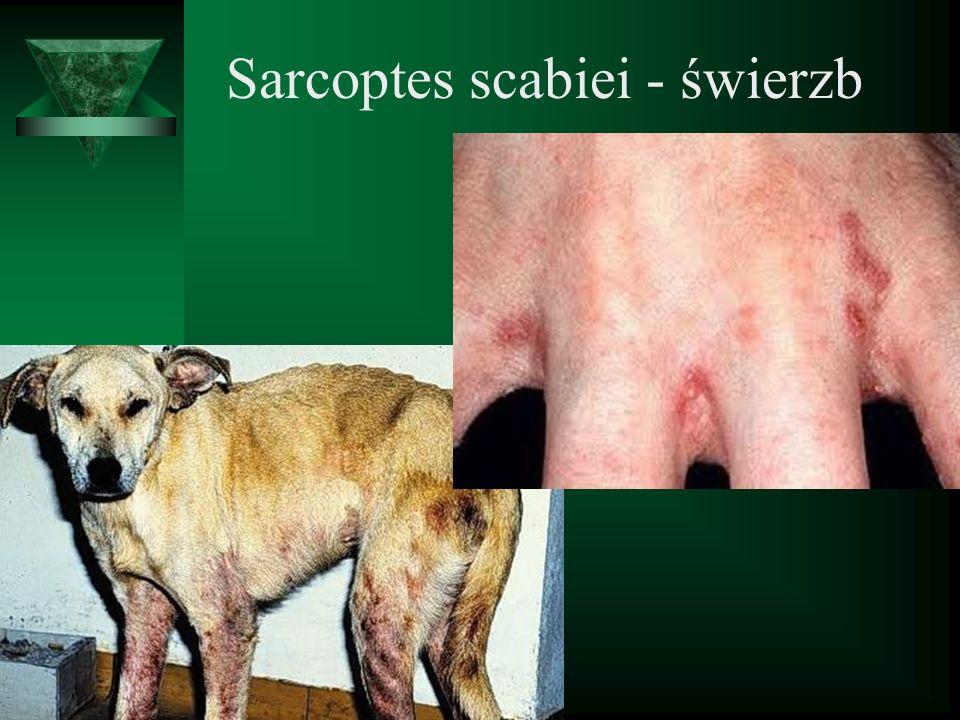 Sarcoptes scabiei - świerzb