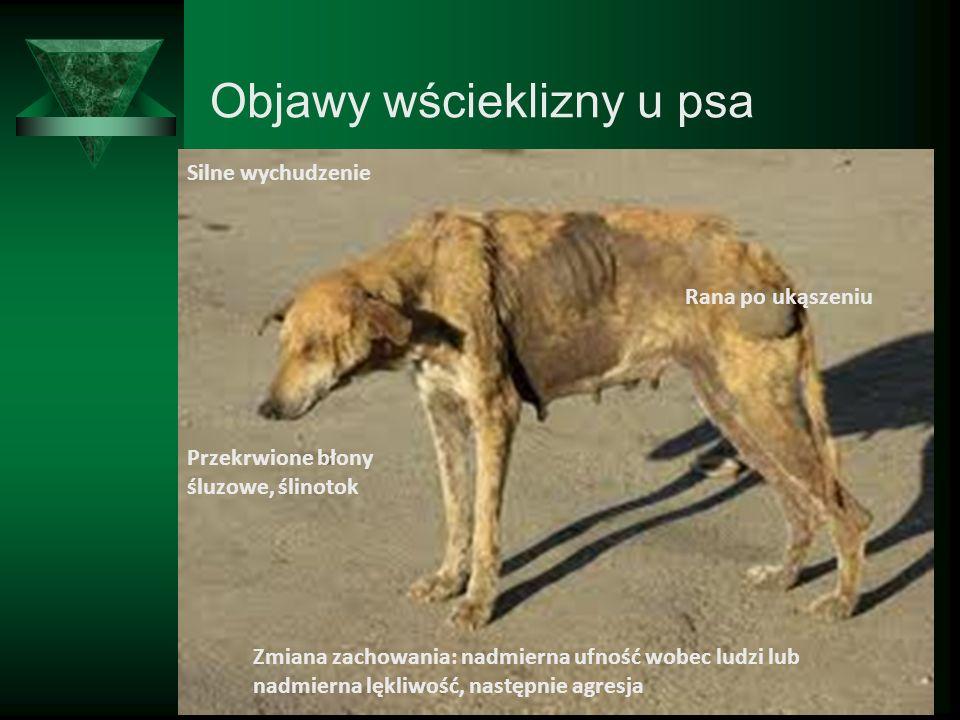 Objawy wścieklizny u psa
