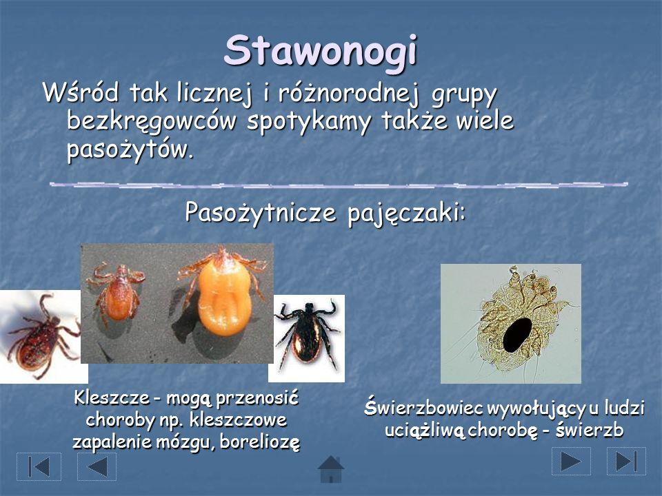 Stawonogi Wśród tak licznej i różnorodnej grupy bezkręgowców spotykamy także wiele pasożytów. Pasożytnicze pajęczaki:
