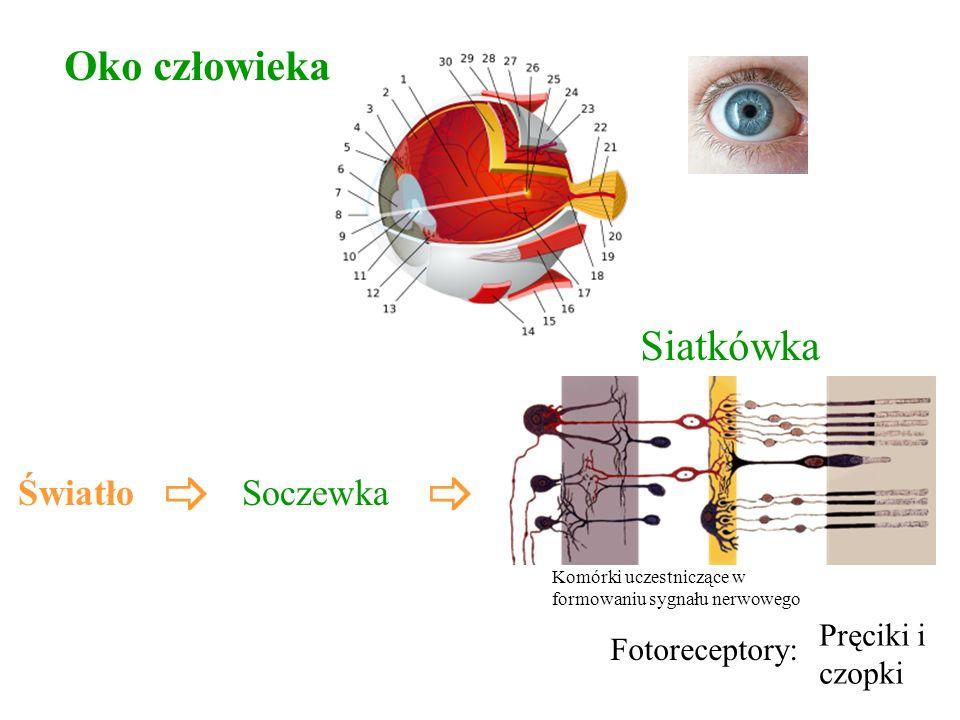 _ _ Oko człowieka Siatkówka Światło Soczewka Pręciki i Fotoreceptory: