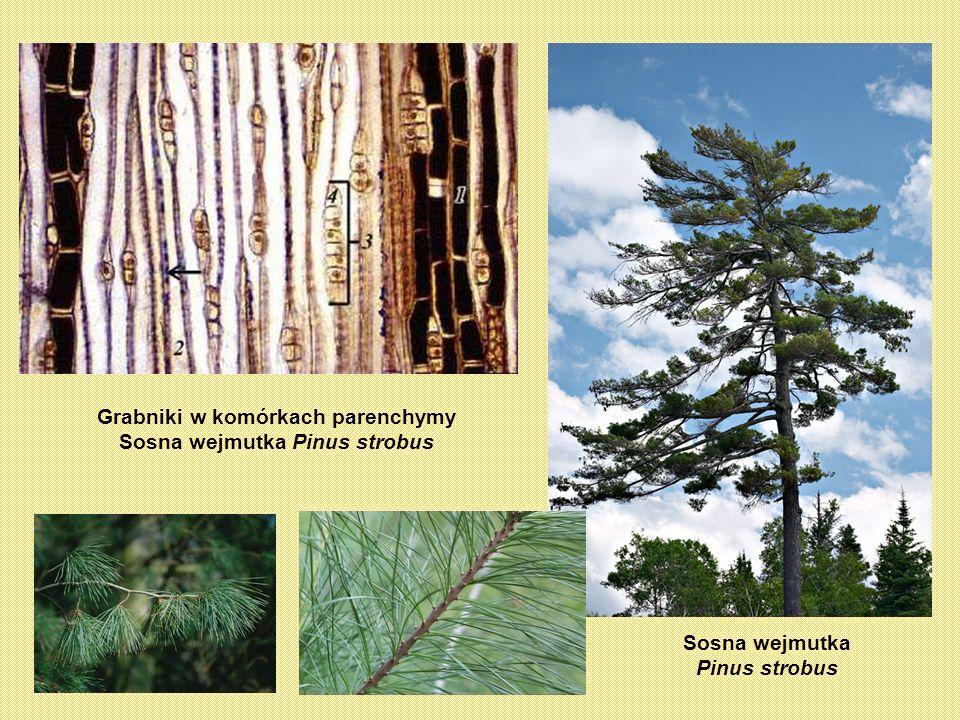 Grabniki w komórkach parenchymy Sosna wejmutka Pinus strobus