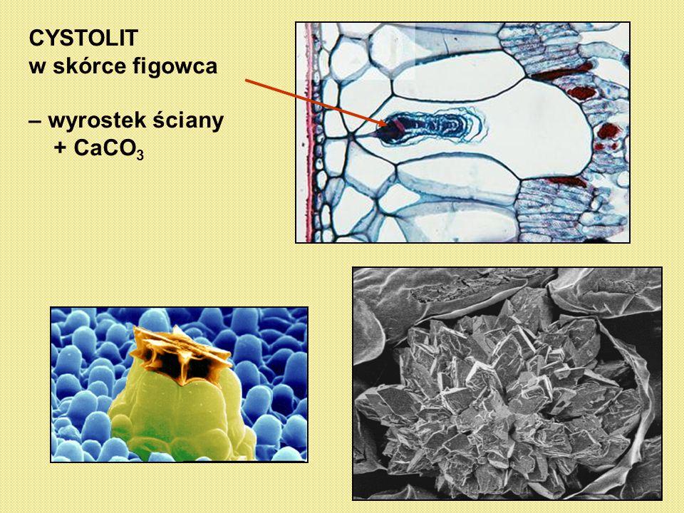 CYSTOLIT w skórce figowca – wyrostek ściany + CaCO3