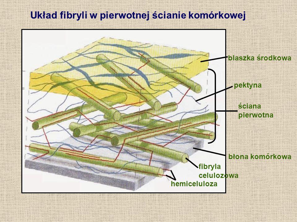 Układ fibryli w pierwotnej ścianie komórkowej