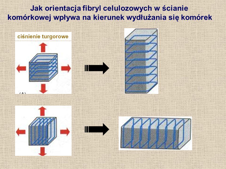 Jak orientacja fibryl celulozowych w ścianie