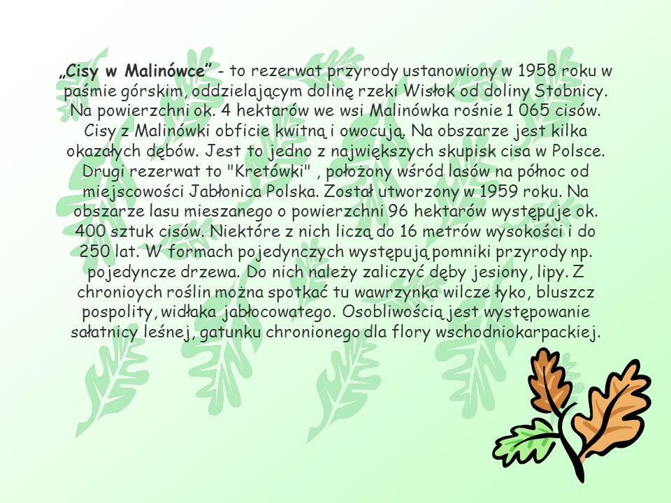 """""""Cisy w Malinówce - to rezerwat przyrody ustanowiony w 1958 roku w paśmie górskim, oddzielającym dolinę rzeki Wisłok od doliny Stobnicy."""