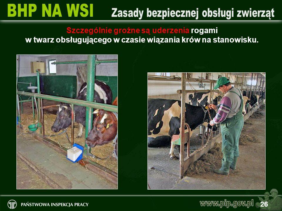 Szczególnie groźne są uderzenia rogami w twarz obsługującego w czasie wiązania krów na stanowisku.