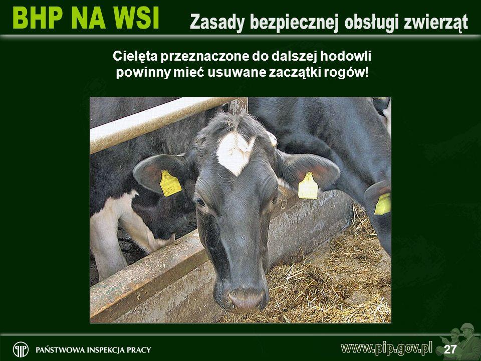 Cielęta przeznaczone do dalszej hodowli powinny mieć usuwane zaczątki rogów!