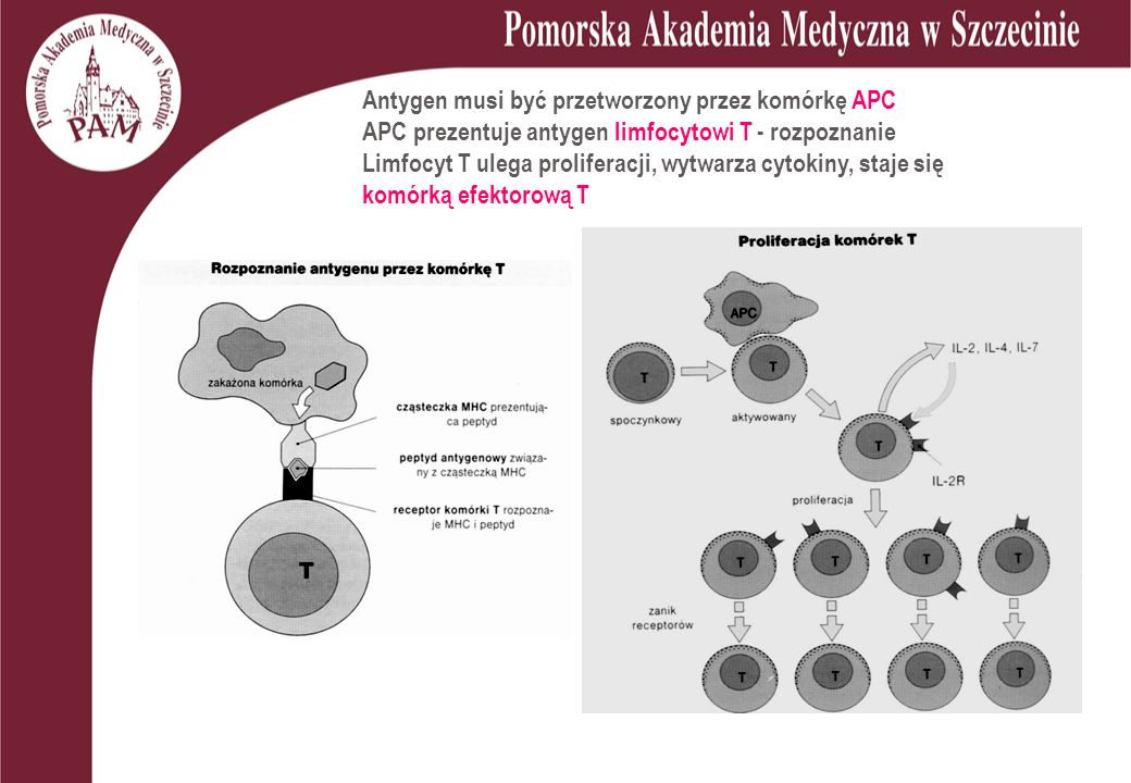 Antygen musi być przetworzony przez komórkę APC