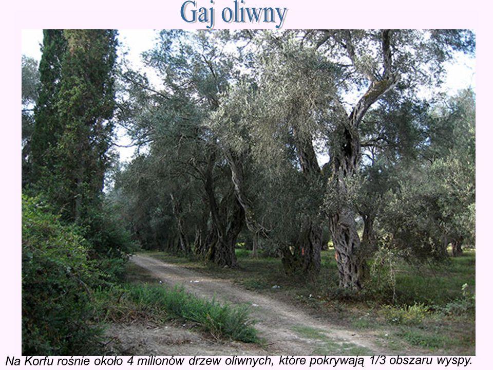 Gaj oliwny Na Korfu rośnie około 4 milionów drzew oliwnych, które pokrywają 1/3 obszaru wyspy.