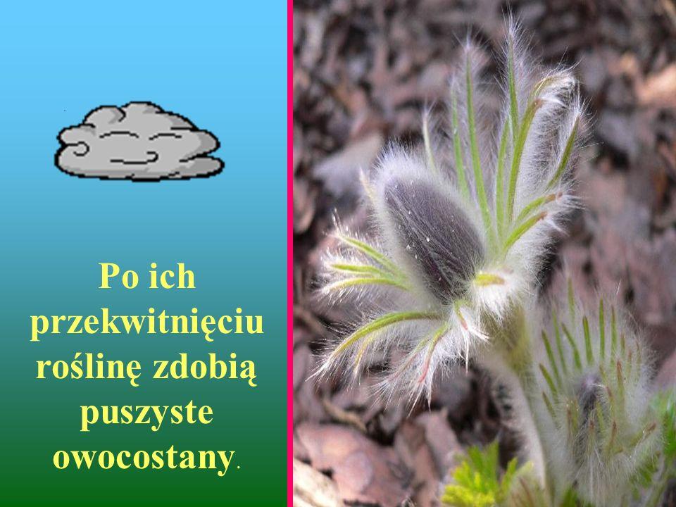 Po ich przekwitnięciu roślinę zdobią puszyste owocostany.