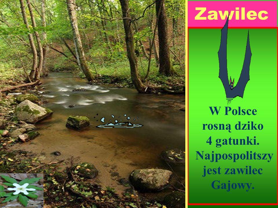 Zawilec W Polsce rosną dziko 4 gatunki. Najpospolitszy jest zawilec