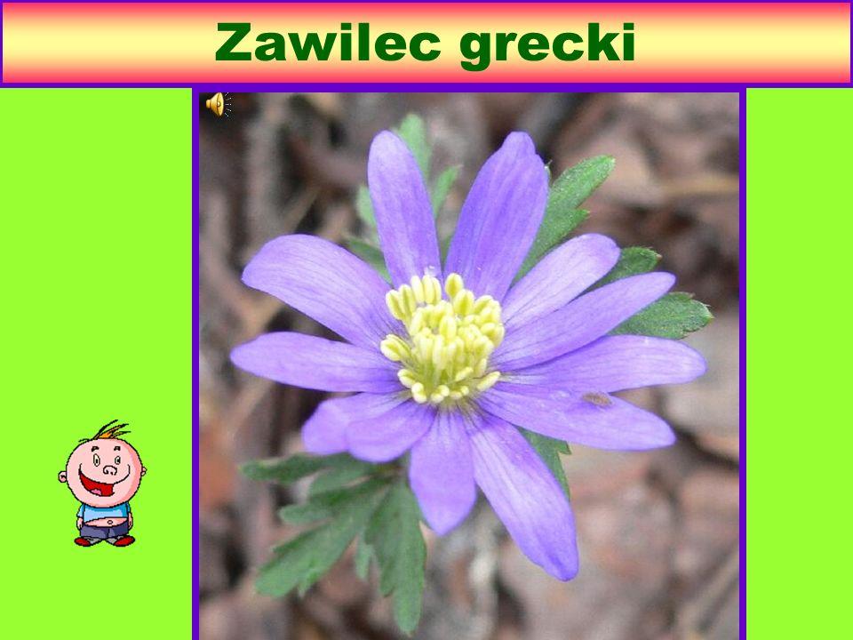 Zawilec grecki