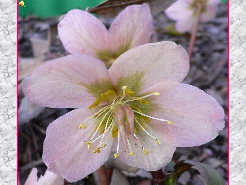Ciemiernik kwiat
