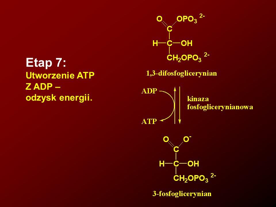 Etap 7: Utworzenie ATP Z ADP – odzysk energii.