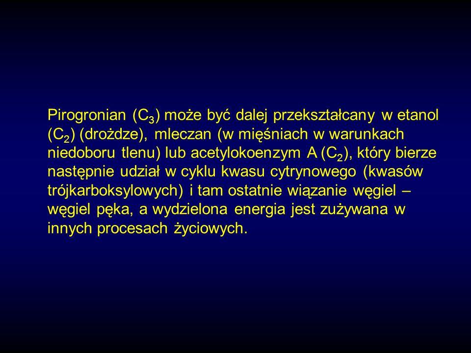 Pirogronian (C3) może być dalej przekształcany w etanol (C2) (drożdze), mleczan (w mięśniach w warunkach niedoboru tlenu) lub acetylokoenzym A (C2), który bierze następnie udział w cyklu kwasu cytrynowego (kwasów trójkarboksylowych) i tam ostatnie wiązanie węgiel – węgiel pęka, a wydzielona energia jest zużywana w innych procesach życiowych.