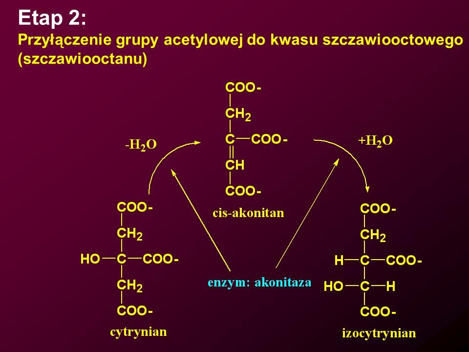 Etap 2: Przyłączenie grupy acetylowej do kwasu szczawiooctowego
