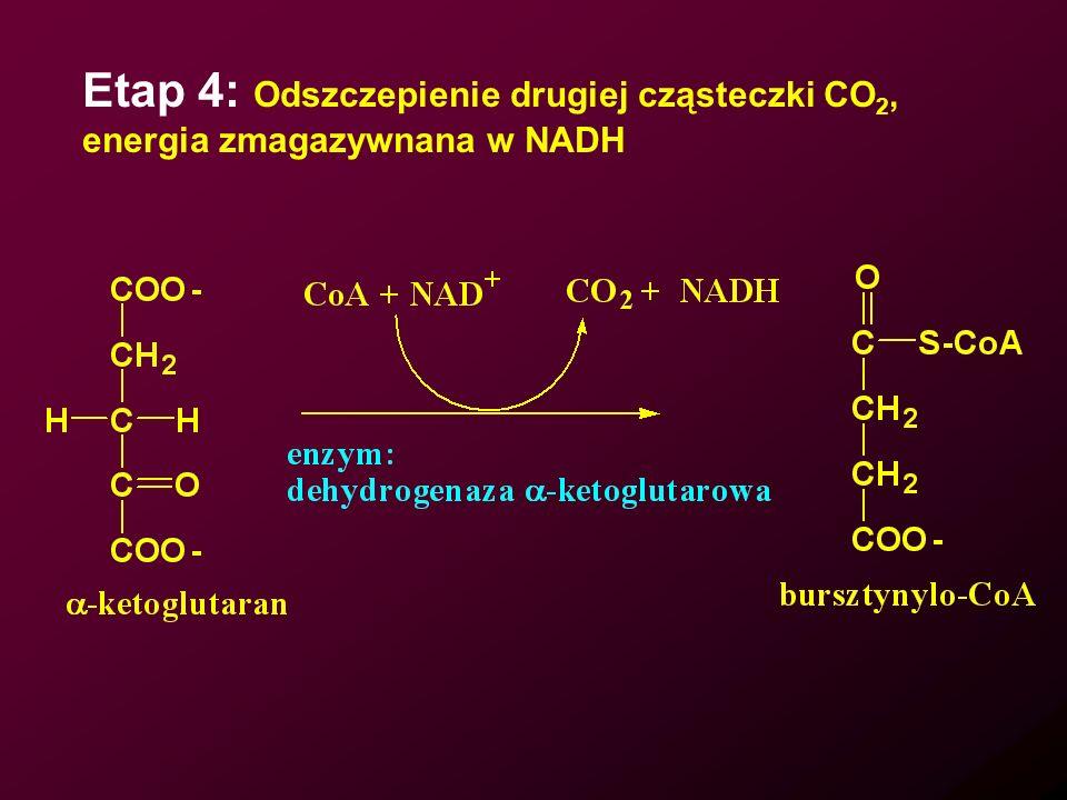 Etap 4: Odszczepienie drugiej cząsteczki CO2,