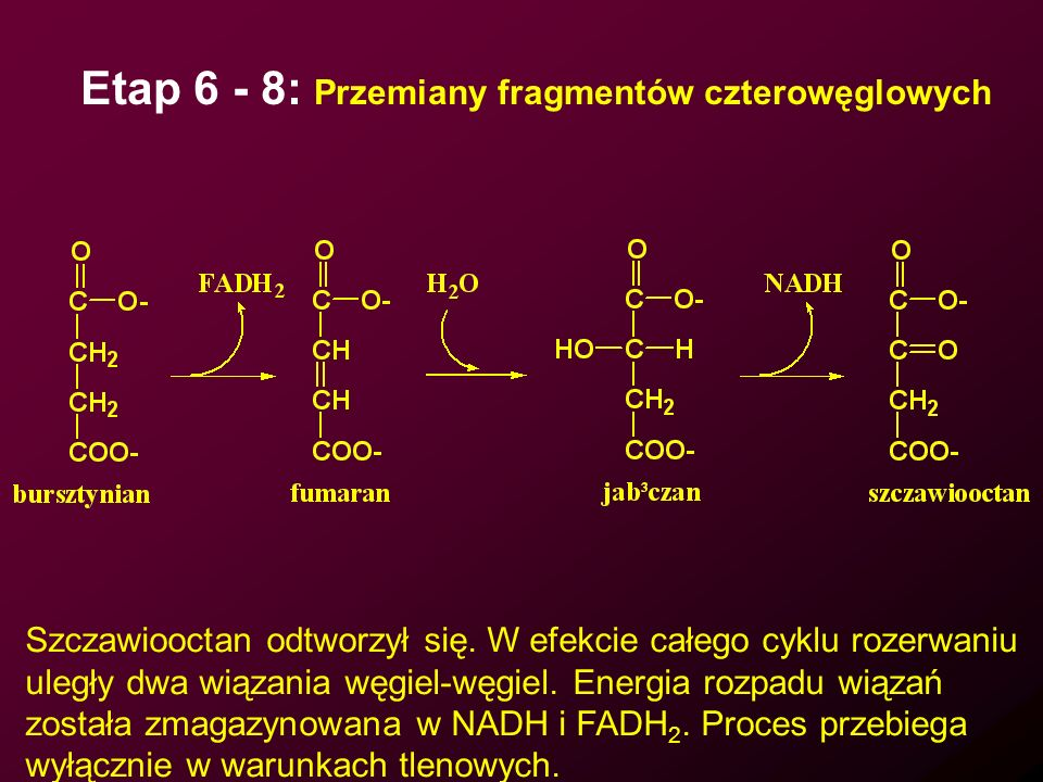 Etap 6 - 8: Przemiany fragmentów czterowęglowych