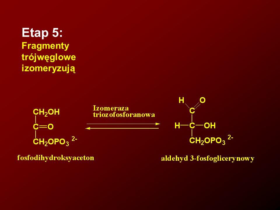 Etap 5: Fragmenty trójwęglowe izomeryzują